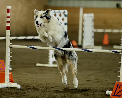 Lillian  at agility trial