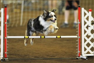 Bean at Lynden AKC 2015