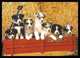 'Pupwagon,' eight week Aussie puppies