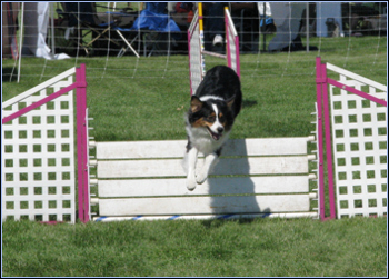 Wicca had another great agility weekend
