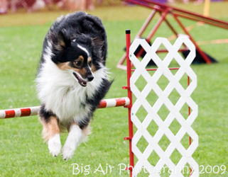 Ziggy doing agility